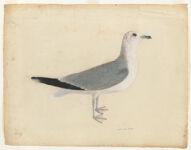 [Common gull]  [France?],  Digital Object